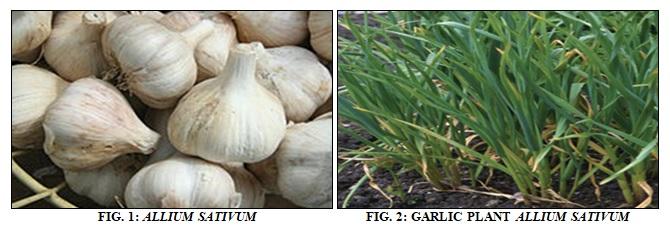 Aromatherapy Health & Beauty Objective Pure Garlic Spice Oil Allium Sativum L Natural Herbal Ayurveda Fragrance