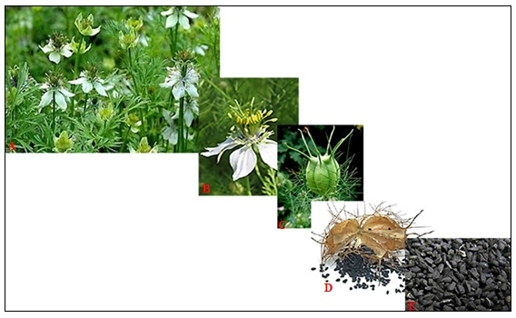 NIGELLA SATIVA: A PLANT WITH MULTIPLE THERAPEUTIC IMPLICATIONS